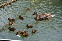 Clutch of malllard chicks out for a swim.